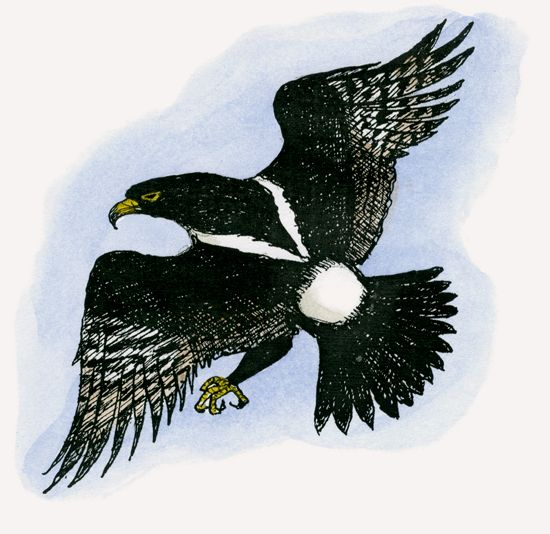 Verreaux's Eagle