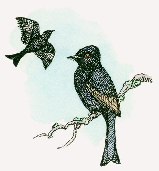 Common Drongo