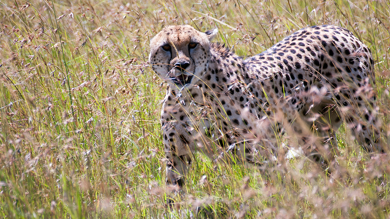 Mpala Live! Field Guide: Cheetah   MpalaLive