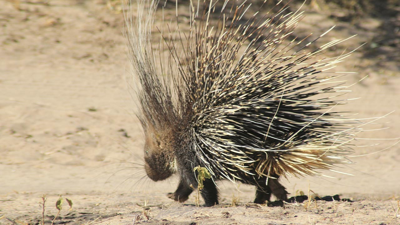 range habitat crested porcupines are widespread in africa between the ...
