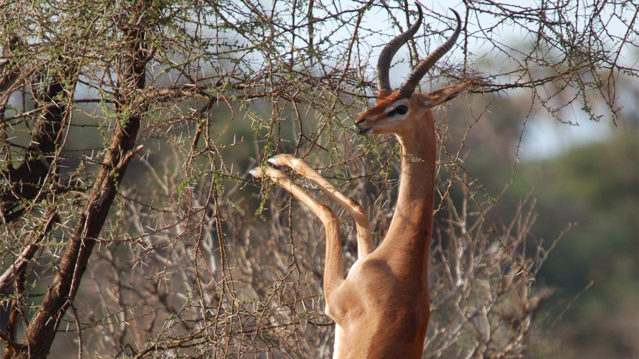 mpala live field guide gerenuk mpalalive