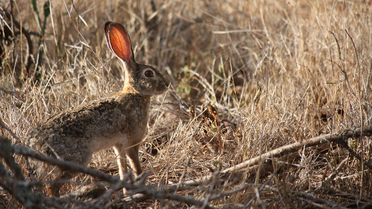 Hare-hare: photo and description where it lives and what it feeds on 43