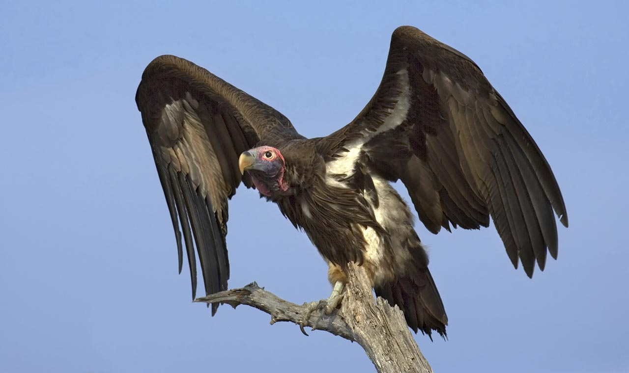 BBC  Earth  The truth about vultures