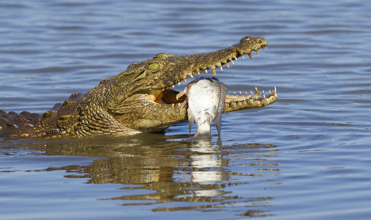 the nile crocodile The nile crocodile is known for its incredible ambush power this amazing footage shows the crocodile nabbing its prey from the banks of the grumeti river.