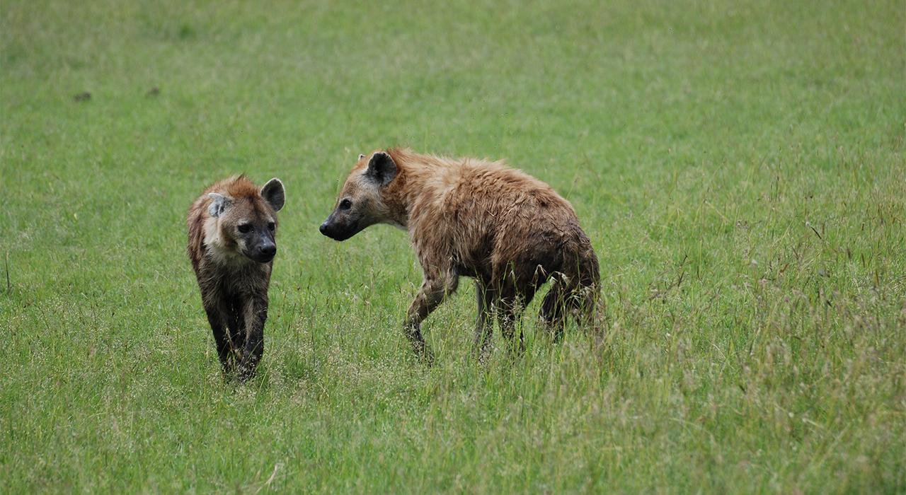 Spotted Hyena | MpalaLive!