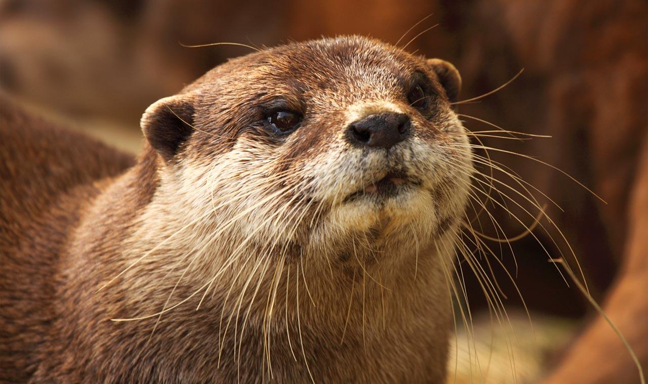Mpala Live Field Guide Clawless Otter Mpalalive