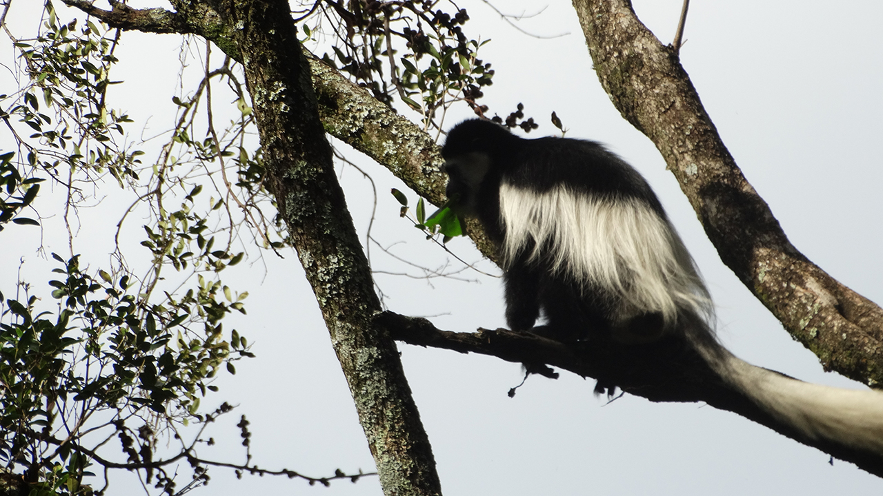 black and white colobus mpalalive