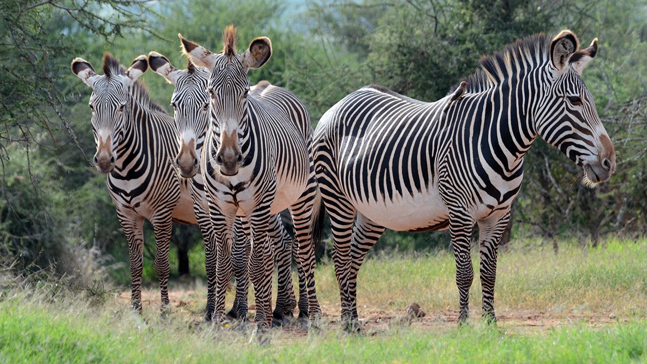 Grevy's Zebra | MpalaLive!