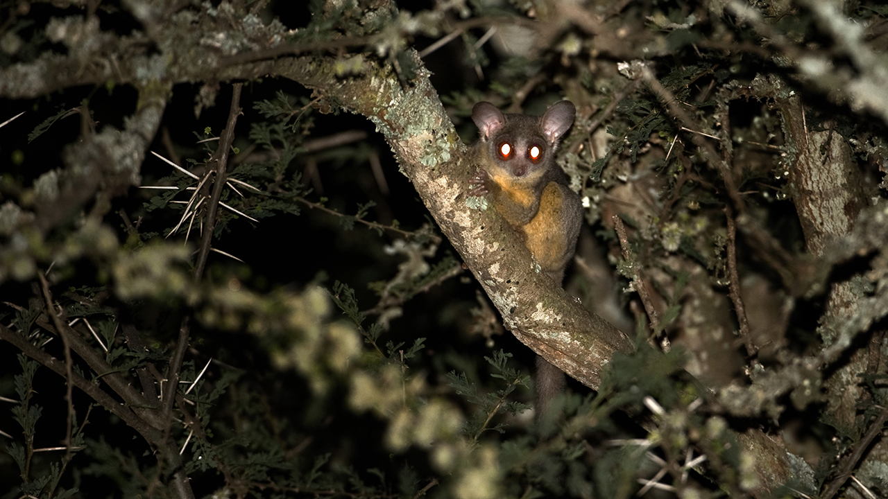 Why the Galago Is Called a Bushbaby - The Safari World