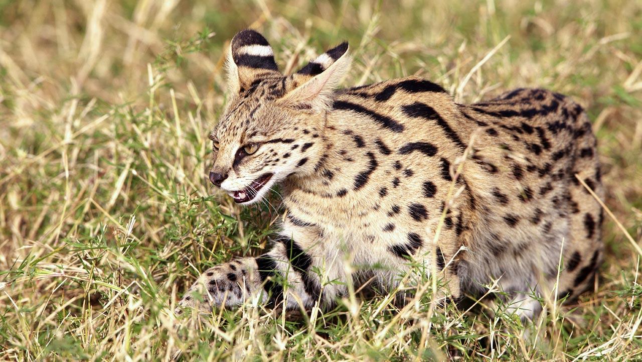 Serval   MpalaLive