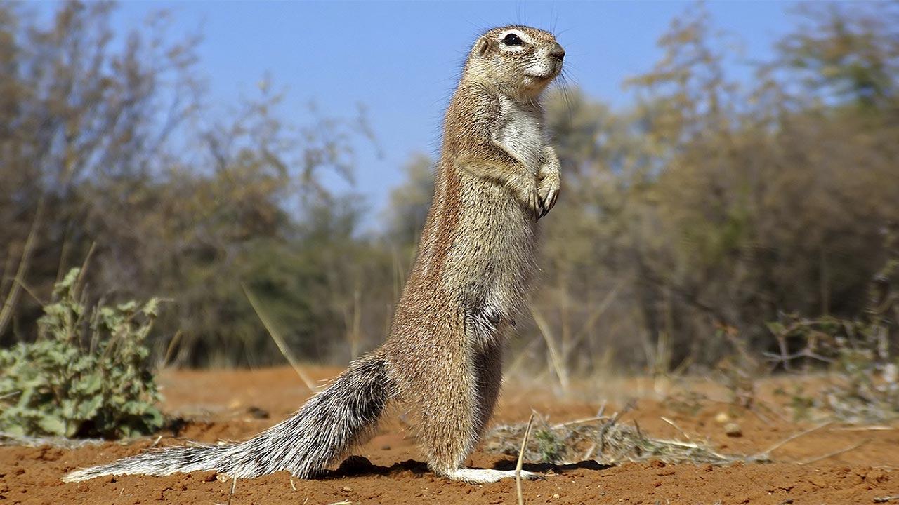 Striped Ground Squirrel | MpalaLive!